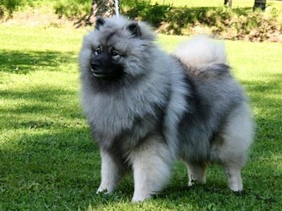 picture_keeshond